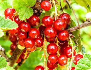 berries-1110015_1280